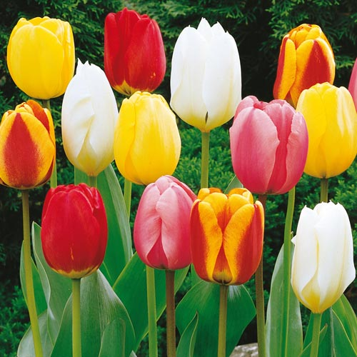 Perennial Tulip Mixture