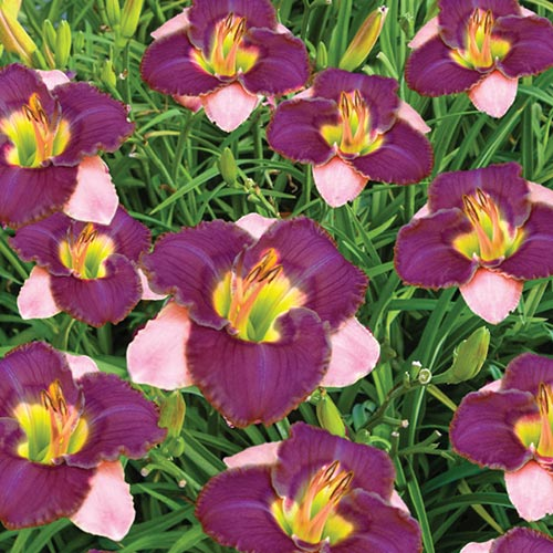 Dwarf Reblooming Daylily Collection