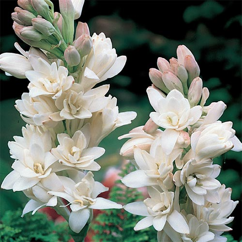 The Pearl Polianthes