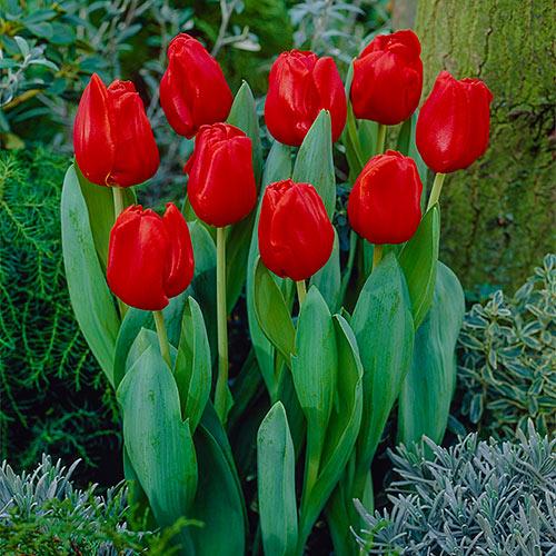 Escape Tulip Super Sak