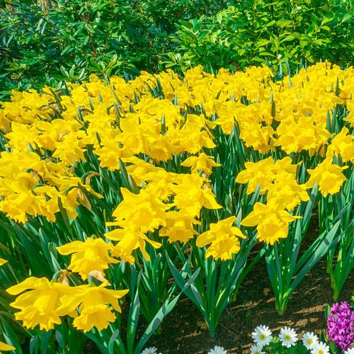 Yellow Trumpet Daffodils Super Sak