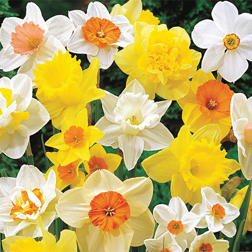 Mixed Daffodil Super Sak