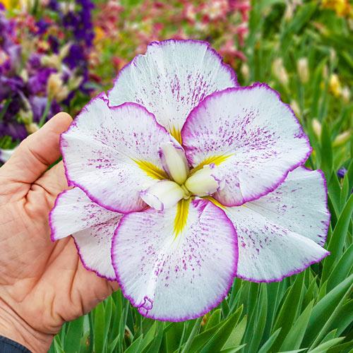 Tiramisu Dinner Plate Japanese Iris