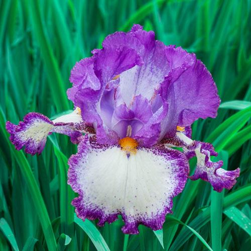 Swept Off My Feet Reblooming Bearded Iris