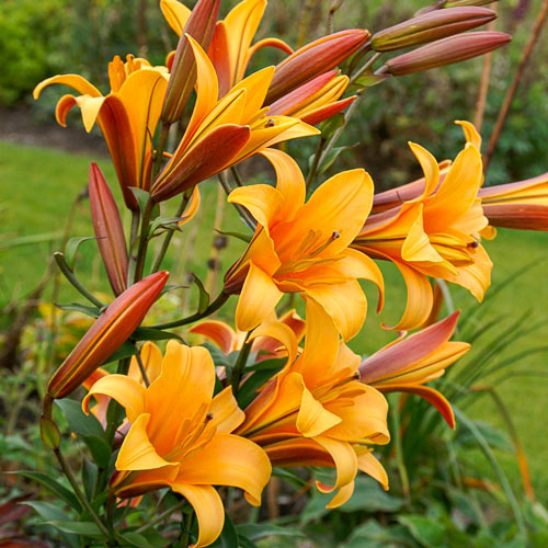 Orange Planet Lily Tree