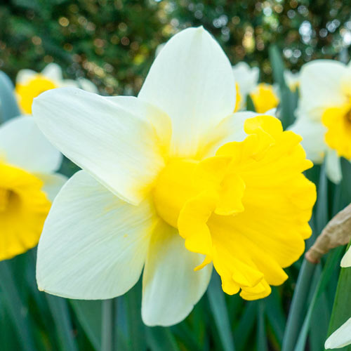 Trumpet Daffodil Collection