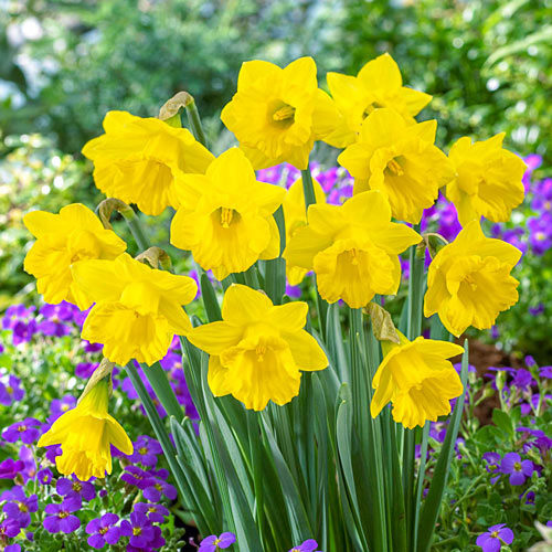 The Tenby Daffodil