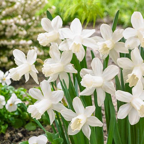 Ice Baby Daffodil