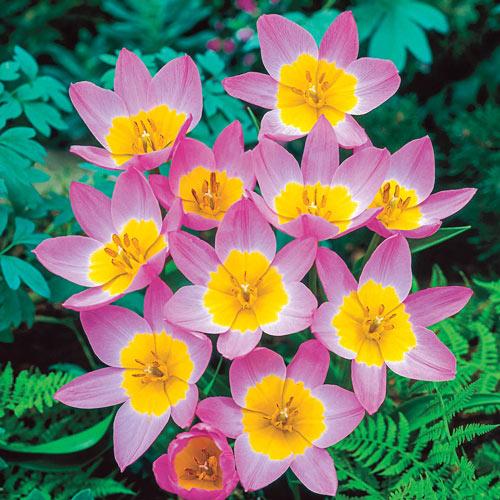 Lilac Wonder Tulip