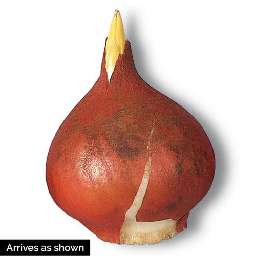 Red Pride Tulip