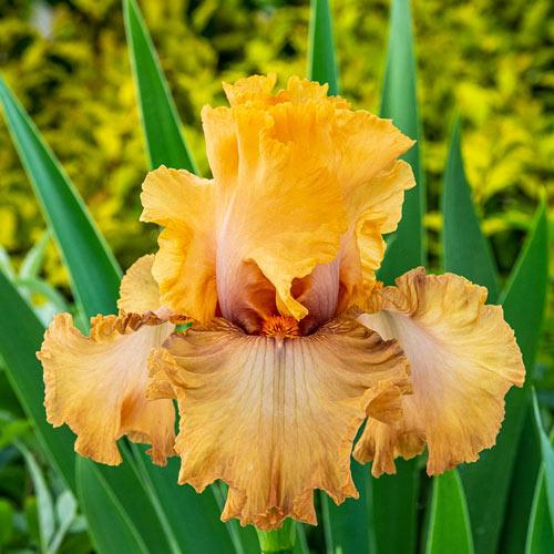 Rubenesque Bearded Iris