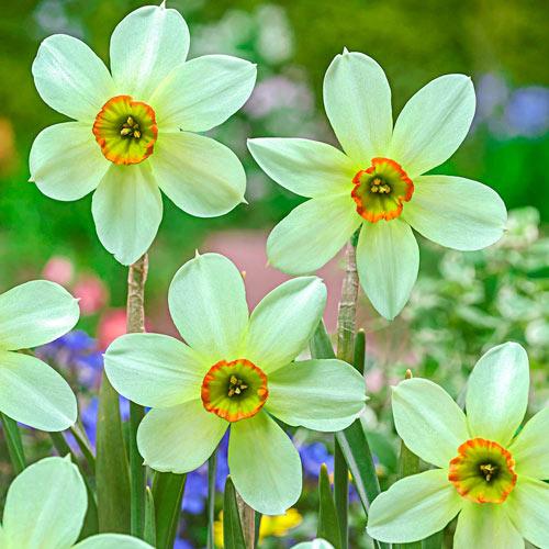 Emerald Kiss Daffodil