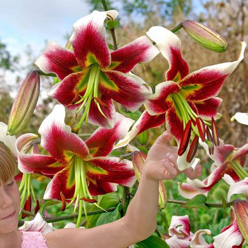 Leslie Woodriff Lily Tree