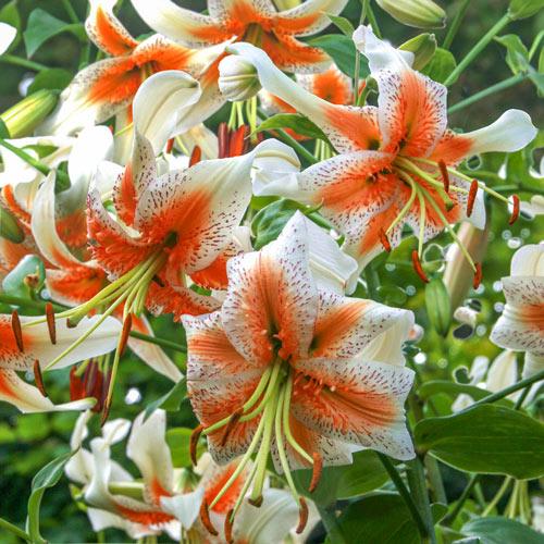 Lady Alice Turks Cap Lily