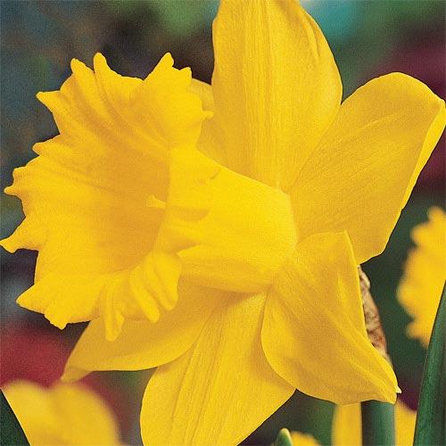 Breck's® Colossal Daffodil