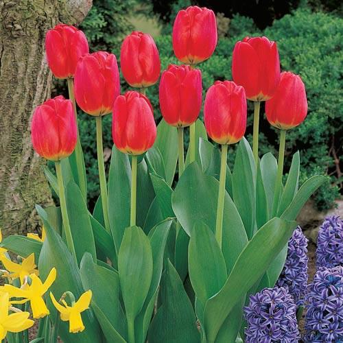 Red Matador Jumbo Perennial Tulip