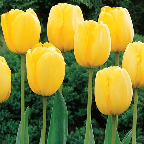 Sun Gold Jumbo Perennial Tulip