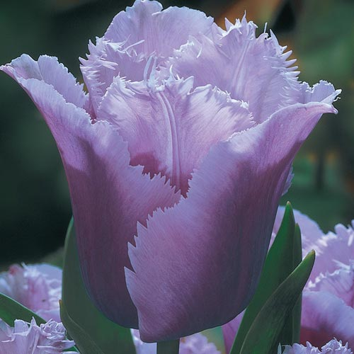 Blue Heron Tulip