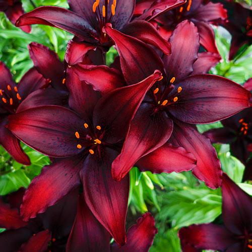 Blacklist Lily