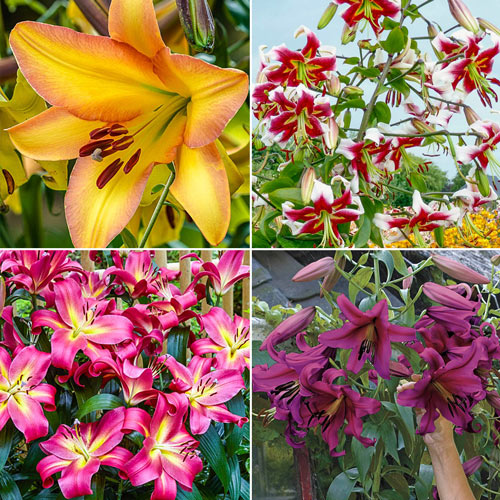Fragrant Forest Lily Tree Collection