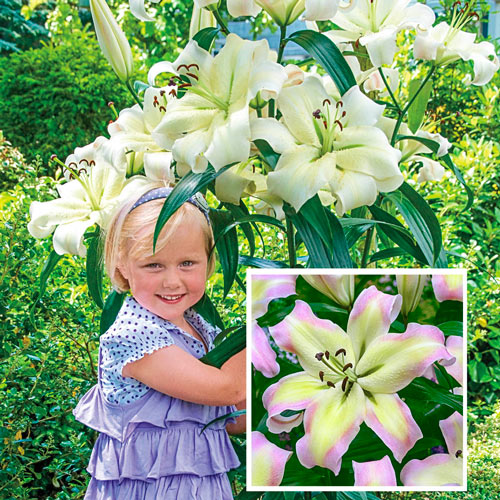 Great Expectations Lily Tree Collection