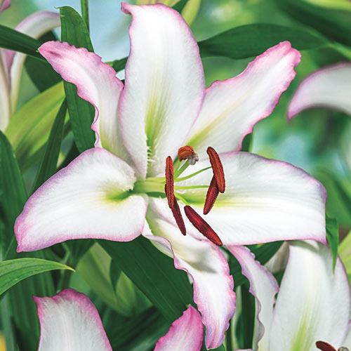 Fantastic Oriental Lily Collection
