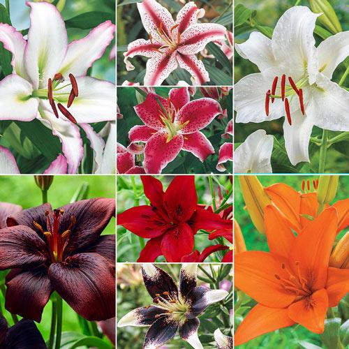 Big Dutch Super Lily Collection