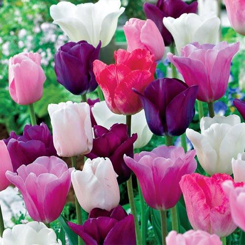 Monet's Garden Tulip Mixture