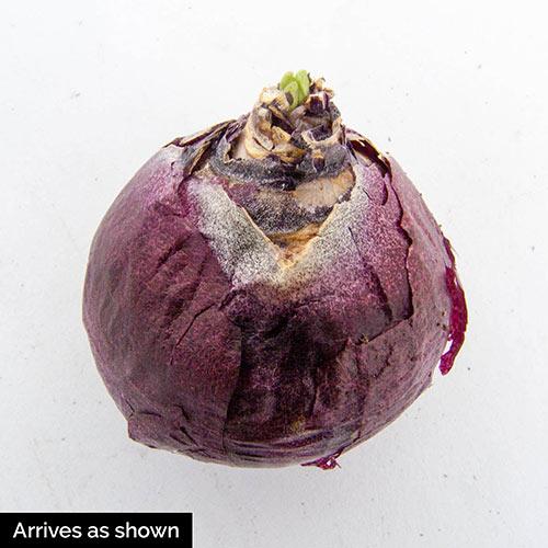Fondant Fragrant Giant Hyacinth