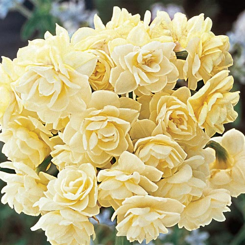 Spring Cheer Daffodil