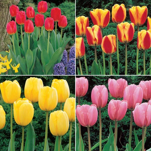 Jumbo Perennial Tulip Collection
