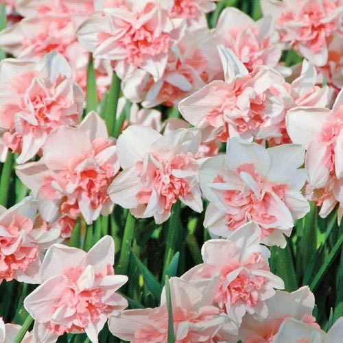 Delnashaugh Daffodil Super Sak