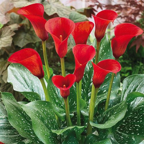Red Alert® Calla Lily