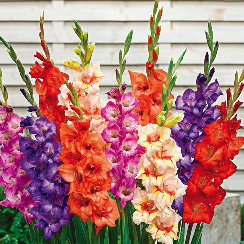 Glamini  Gladiolus Mixture