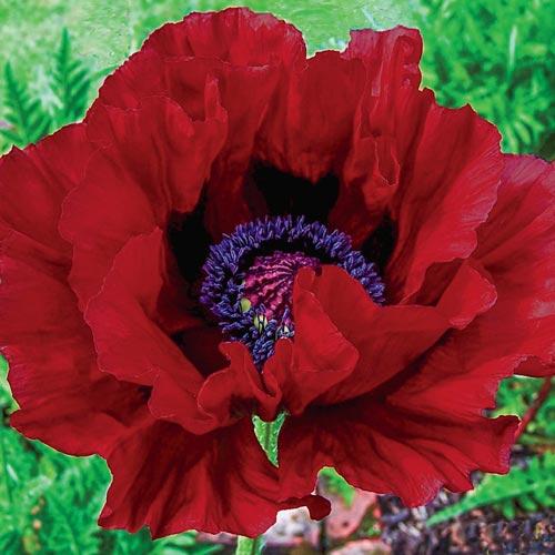 Heartbeat Oriental Poppy