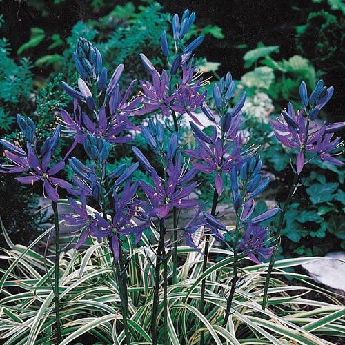 Blue Melody Camassia