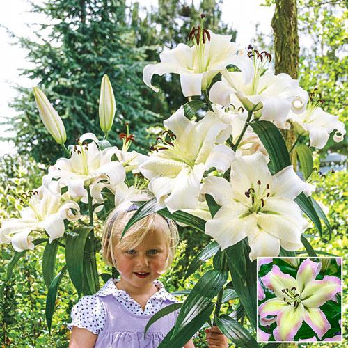 Pretty Woman Lily Tree