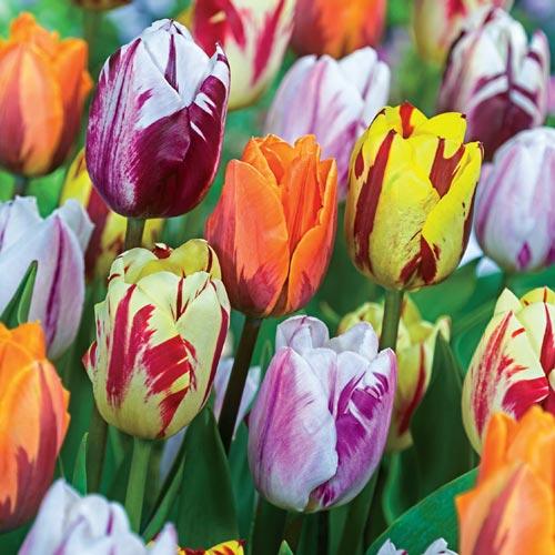 Flaming Beauties Tulip Mixture