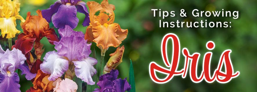 Growing Instructions: Iris