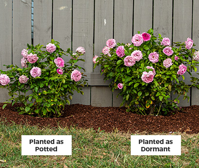 Potted dormant