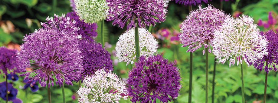 Tips and Growing Instructions: Allium
