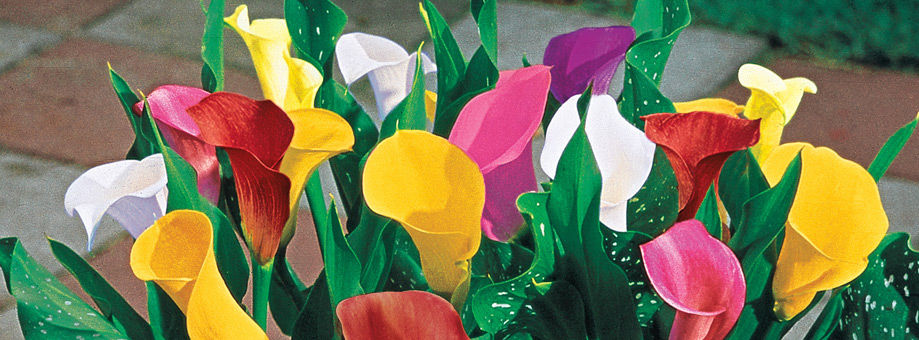 Tips & Growing Instructions: Calla Lilies