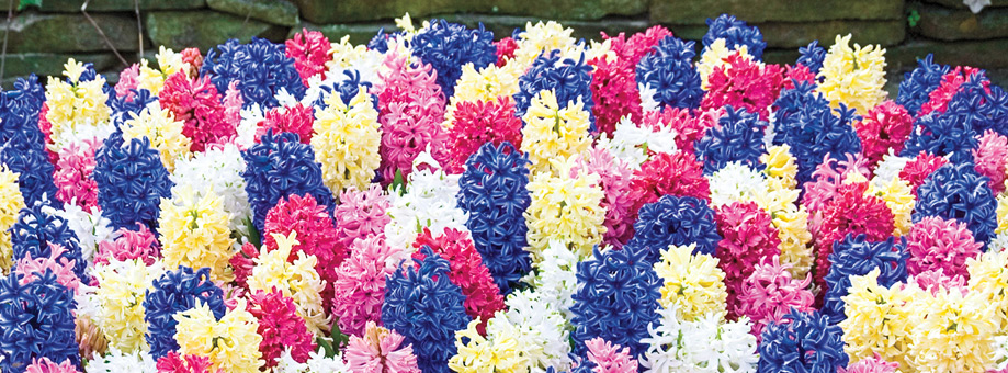 Tips & Growing Instructions: Hyacinths