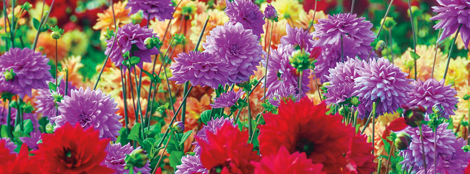 Tips & Growing Instructions: Dahlias