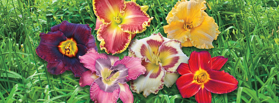 Tips & Growing Instructions: Daylilies