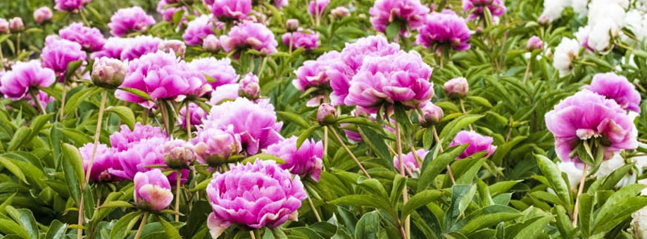 Tips & Growing Instructions: Peonies