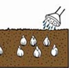 Watering of Bulbs