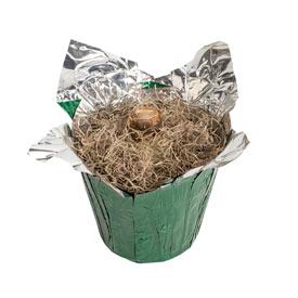Clown Stripe Amaryllis in Foil Wrapped Pot