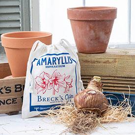 Naked Amaryllis Bulbs in Gift Bag