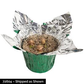Stargazer Amaryllis in Foil Wrapped Pot